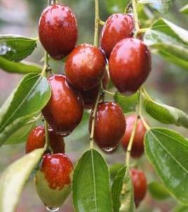 Quality Wild Jujuba Extract  Jujubosides min 2% UV, Jujuboside A+B HPLC treat ND, sleeplessness wholesale