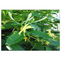 Quality Anti Virus Honeysuckle Flower Extract , Lonicera Japonica Flower Extract CAS 327 97 9 wholesale