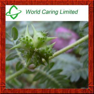 China Herbal Extract Tribulus Terrestris Extract 40%-98% Tribulu HPLC for men sexual enhancement on sale