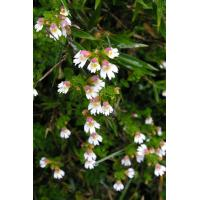 Quality Eyebright Extract 10:1 high quality to improve vision and eyes conditions wholesale