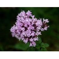 Quality Thyme Extract 10:1  TLC antibacterial, and stop itching, alleviate stress wholesale