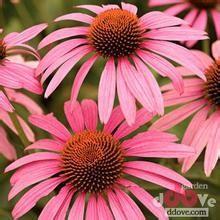 Quality echinacea purpurea powder/echinacea purpurea root extract/Increase Immune ;Antivirus wholesale