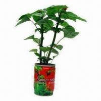 Quality Scarlet Sage/Magic Flower/Novelty Plant, Ideal for Christmas Gifts wholesale