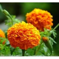 Quality Manufacturer supply hiagh quality Marigold P.E Lutein 2% 20% natural color agent wholesale