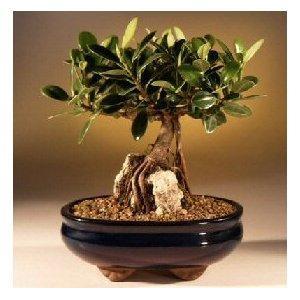 Quality Ficus indoor mini plant(Un-grafted) wholesale