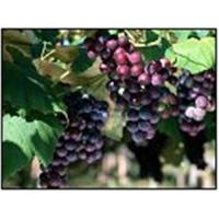 Quality Grape Seed Extract wholesale