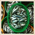 Quality good quality frozen sardine fish(sardinella longiceps) for market wholesale