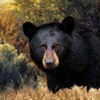 Cheap 3D Lenticular Picture/Image / Grizzly Bear A / 3D Lenticular Printing for sale