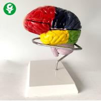 China Education Midsagittal Brain Model With Functional Region Painted Colored on sale