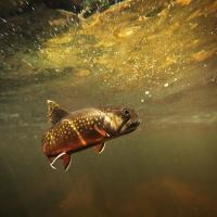 3D Lenticular Picture/Image / Trout B / 3D Lenticular Printing
