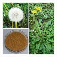 Quality SALE! Available from stock! top quality Dandelion root P.E. wholesale
