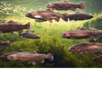 Cheap 3D Lenticular Picture/Image / Trout C/ 3D Lenticular Printing for sale