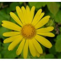 Quality Arnica Flower Extract 10:1  used for skin care products, skin fresheners, shampoos, wholesale