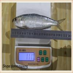 Quality fish sardine frozen fresh sardine for market wholesale