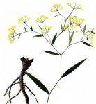 Quality Bupleurum chinense DC. dried root wholesale