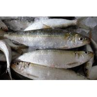 Quality Frozen High Quality Whole Round Sardine Fresh Fish with All Size On Sale. wholesale