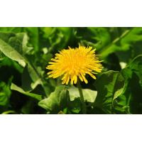 China Gansu Taraxacum Flower Leaf Whole Dandelion Stem Root  Herbs Supplier on sale