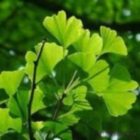 Quality Ginkgo Biloba Extract wholesale