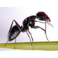 Quality Black Ant Extract Polyrhachis vicina Roger, 10:1 high quality wholesale