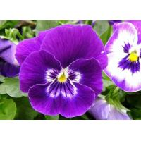 Quality Pansy Extract 10:1 natural ingredien treat skin conditions and to fight skin imperfections wholesale