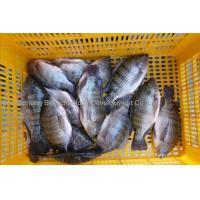Frozen tilapia fish manufacturer exporting images frozen for Is tilapia a fake fish
