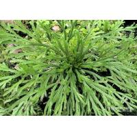 Quality Selaginella lamariscina Spring .dried whole parts wholesale
