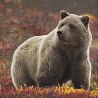 Cheap 3D Lenticular Picture/Image / Grizzly Bear B / 3D Lenticular Printing for sale