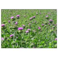Cheap Light Yellow Plant Extract Powder Natural Ingredient Milk Thistle Extraction for sale