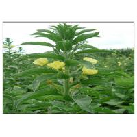 Quality Evening Primrose Organic Plant Oils Food Grade Golden Yellow Color ISO Certification wholesale