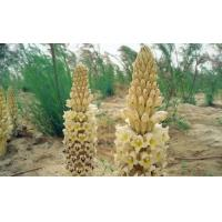 Quality Cistanche Deserticola P.E  Enhance immunity, tonify the kidneys and strengthen yang wholesale