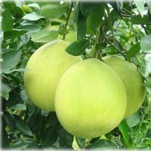 China Naringin 98% Citrus Aurantium Extract PowderPharmaceutical Grade CAS 480 41 1 on sale