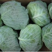 Quality Fresh Cabbage wholesale