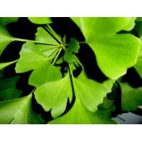 China Ginkgo biloba leaves extract,ginkgo flavone glycosides,Ginkgo acid 3ppm~5ppm on sale