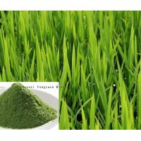 Quality Barley Grass Extract 10:1 TLC , reduce fat, prevent cancer, enhance immunity, anti-aging wholesale