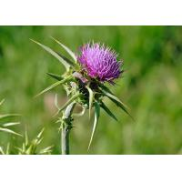 Quality Natural 80% Silymarin Milk Thistle Extract Used to detoxify and reduce the blood fat wholesale