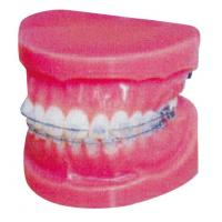 Quality Normal Fixed Orthodontic Model for Hospitals And Medical Schools Training wholesale