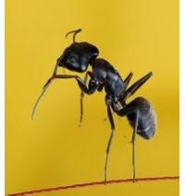 Quality Black Ant Extract 5:1 Nourish kidney yang wholesale