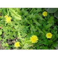 China Gansu Hadapu Dandelion Root Taraxacum Officinale Best Chinese Herbal on sale