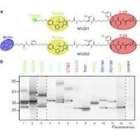 China Staphylococcus Aureus v8 Protease  Glutamic Acid Proteases for Analyzing Protein Sequencing on sale