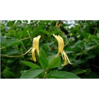 China Epimedium P.E. on sale