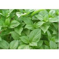 Quality Sweet Basil Extract 10:1  Remove parasites, Cure acne, antibacterial, wholesale