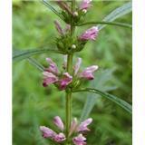 Quality Motherwort Herb P.E.  10:1;ydrine>10%;>15%;20%。  women's health wholesale
