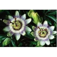 Quality Passion Flower extract  used for insomnia, sleep disorder and mood disorders (depression) wholesale