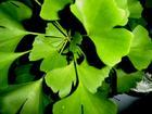 China Ginkgo Biloba P.E on sale