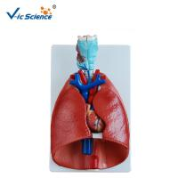 China Teaching Human Anatomical Model Larynx Heart And Lung Model  VIC-320 for sale