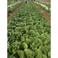 Quality Good Taste Flat Head Cabbage For Frying / Simmering / Mixing / Simmering wholesale