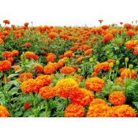 Quality Best Choice natural pigment marigold flower extract / marigold extract / lutein wholesale