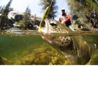 Cheap 3D Lenticular Picture/Image / Trout A/ 3D Lenticular Printing for sale