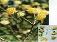 Quality Buddleia Yellow wholesale