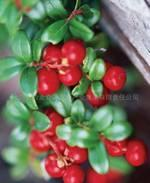 Buy cheap Lingonberry Red from wholesalers
